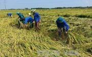 Nông dân gặt lúa chạy đua với bão