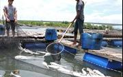 Cá nuôi lồng ở Tuyên Quang chết hàng loạt