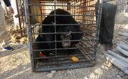 Liên tiếp phát hiện và tịch thu gấu bị nuôi nhốt bất hợp pháp