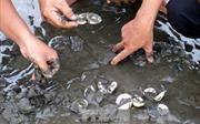 Các mẫu nước biển làm ngao chết hàng loạt đều chứa độc tố