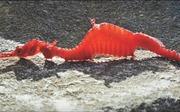 Loài rồng ngọc biển lần đầu xuất hiện trước máy quay