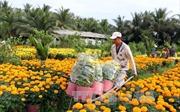 Giá hoa, cây cảnh cho Tết tăng từ 10 - 30%