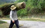Hái 'lộc trời' nơi rừng già Trường Sơn