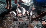 Nông dân vẫn ngại thả nuôi dù cá tra tăng giá