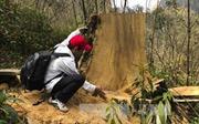 Hoạt động khai thác, vận chuyển trái phép gỗ pơ mu ở Điện Biên được kiểm soát