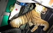 Thanh Hóa: Phát hiện xe cứu thương chở hổ đông lạnh nặng 180 kg