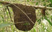 Số phận thực sự của 'đàn ong lạ' ở rừng tràm U Minh Hạ