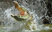 Đàn voi rừng 'thót tim' vì cá sấu hung tợn bất ngờ đớp vòi