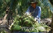 Dừa xiêm xanh Bến Tre tăng giá 'kỷ lục'