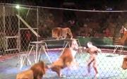 Đàn sư tử xông vào suýt 'xơi tái' huấn luyện viên trên sân khấu
