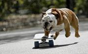Chú chó đi ván trượt bất ngờ nổi tiếng