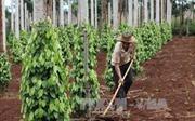 Bất chấp giá hồ tiêu giảm sâu, nông dân Tây Nguyên vẫn mở rộng diện tích