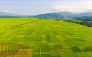Mùa vàng bội thu trên cánh đồng Mường Thanh