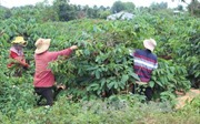 Quy hoạch vùng cà phê Tây Nguyên thích nghi với biến đổi khí hậu