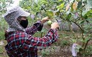 Nghệ An: Trồng ổi trên đất bạc màu cho lãi hàng trăm triệu đồng một năm
