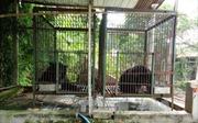 Tây Ninh: Giải cứu thêm hai con gấu ngựa nuôi nhốt