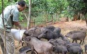 Thông tin về việc giá lợn giống trong dự án giảm nghèo tại Điện Biên cao bất thường