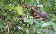 Tiền Giang huy động trên 900 tỷ đồng phát triển vườn cây ăn trái