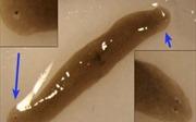 Kỳ lạ giun bị đột biến thành 2 đầu khi sống trên vũ trụ