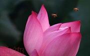 Chiêm ngưỡng vẻ đẹp hoa sen buổi sớm mai