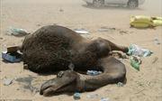 Qatar rơi vào khủng hoảng ngoại giao vùng Vịnh, lạc đà cũng lâm cảnh khốn khó