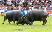 Xem xét khả năng đưa Lễ hội Chọi trâu Đồ Sơn ra khỏi danh mục di sản