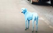 Ám ảnh chuyện chó biến màu, lông xanh dương ở Ấn Độ
