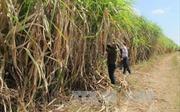 Tây Nguyên ổn định vùng nguyên liệu mía cho các nhà máy đường