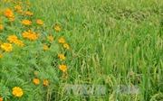 Mô hình 'ruộng lúa, bờ hoa' ở Bà Rịa-Vũng Tàu 'chết yểu'