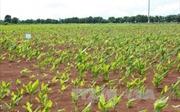 Nông dân Chư Pưh lao đao vì trồng nghệ chưa có đầu ra