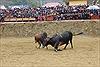 Lễ hội chọi bò u Bảo Lâm