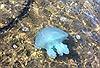 Sứa xanh 'xâm lược' bãi biển Australia