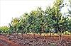 Phát triển cây mắc ca vùng Tây Nguyên: Cây công nghiệp chiến lược mới
