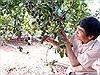 Thận trọng trồng cây mắc ca