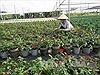 Người trồng hoa vui vì hoa Tết nở đúng hẹn