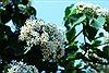 Mê mẩn ngắm nhìn sắc trắng tinh khôi của hoa Trẩu núi rừng Tây Bắc