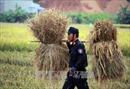 Cảnh sát cơ động Sơn La giúp bà con thu hoạch lúa