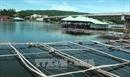 Phú Yên xử lý tình trạng nuôi ốc cháy tự phát trong đầm Ô Loan