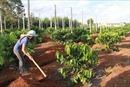 Tây Nguyên sử dụng phần lớn giống mới để trồng tái canh cà phê