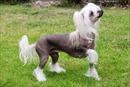 Những giống chó độc và lạ trên thế giới