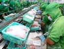 Doanh nghiệp xuất khẩu cá tra-basa Việt Namvẫn bị áp dụng mức thuế chống bán phá giá rất cao