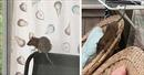 Chuột to bằng mèo hoành hành khiến người dân Thụy Điển kinh hãi