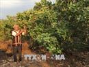 'Bóng Kơ nia' của dân làng Jrăng Blo