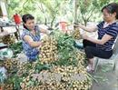 Hưng Yên bác bỏ thông tin giá nhãn ế ẩm 4.000 đồng/kg