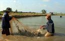 Tăng cạnh tranh từ phát triển tôm sinh thái - Bài 1