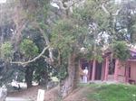 """Bảo tồn """"cây trăm tuổi"""" - Kì 3: """"Báu vật"""" nơi Kinh đô Văn Lang xưa"""