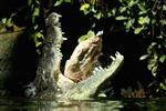 Bị cá sấu khổng lồ ăn thịt khi dự sinh nhật