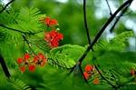 Diệu kỳ hoa phượng