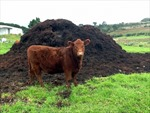 Mỹ phát triển công nghệ tách nước từ chất thải gia súc