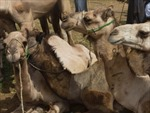Phát hiện virus MERS-Cov tại chuồng lạc đà ở Saudi Arabia